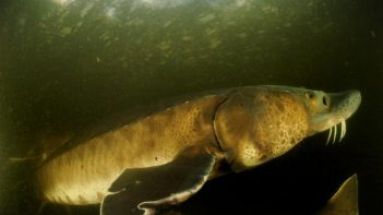 New research study reveals 88% global decline of big freshwater animals