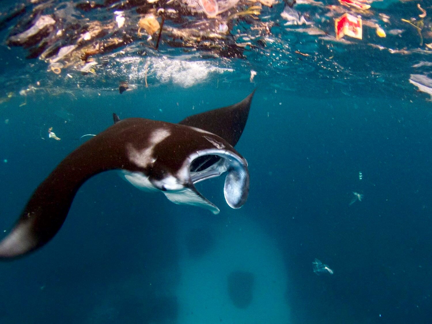 MMF study researching microplastics in Manta Ray feeding grounds